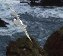 Arctic Fulmar in flight